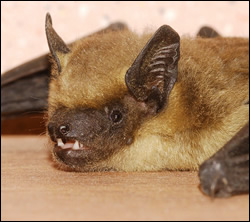 bat removal Euless