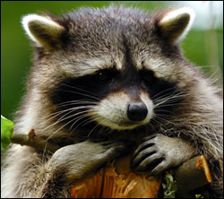 raccoon removal Euless