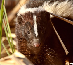 skunk removal Euless